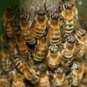 Bienen liefern mehr als Honig